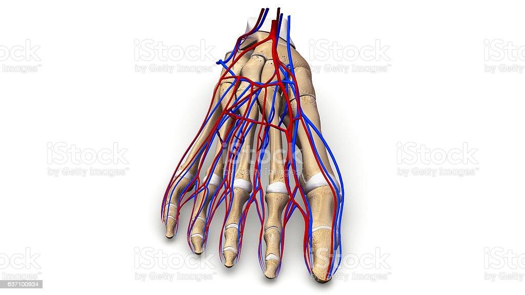 Foot Bones With Blood Vessels Anterior View Stock Vector Art & More ...