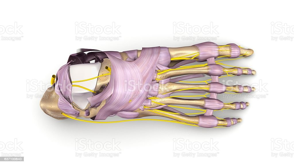 Foot Bones With Ligaments And Nerves Top View Stock Vector Art ...