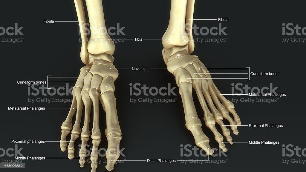 Foot Joints_aerial vector art illustration