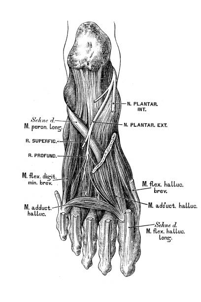 Foot nerves and muscles Illustration of a Foot nerves and muscles sciatic nerve stock illustrations