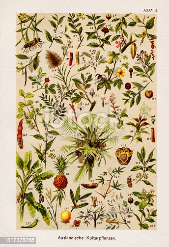 istock Foreign Cultivated Plant Chromolithography 1899 1317378785