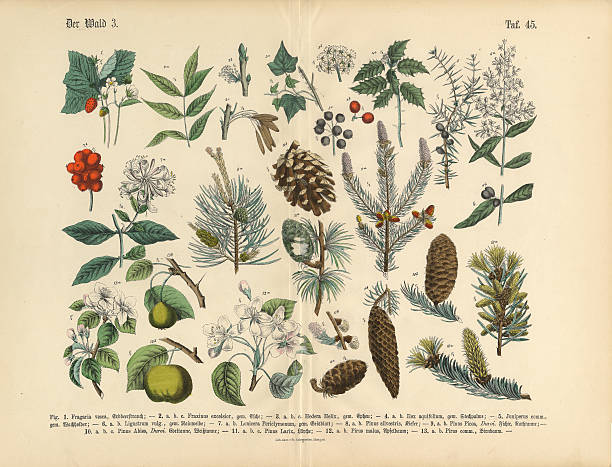 Forest and Fruit Trees and Plants, Victorian Botanical Illustration Very Rare, Beautifully Illustrated Antique Engraved Victorian Botanical Illustration of Forest and Fruit Trees and Plants: Plate 45, from The Book of Practical Botany in Word and Image (Lehrbuch der praktischen Pflanzenkunde in Wort und Bild), Published in 1886. Copyright has expired on this artwork. Digitally restored. honeysuckle stock illustrations