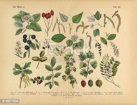 Very Rare, Beautifully Illustrated Antique Engraved Victorian Botanical Illustration of Forest and Fruit Trees and Plants: Plate 45, from The Book of Practical Botany in Word and Image (Lehrbuch der praktischen Pflanzenkunde in Wort und Bild), Published in 1886. Copyright has expired on this artwork. Digitally restored.
