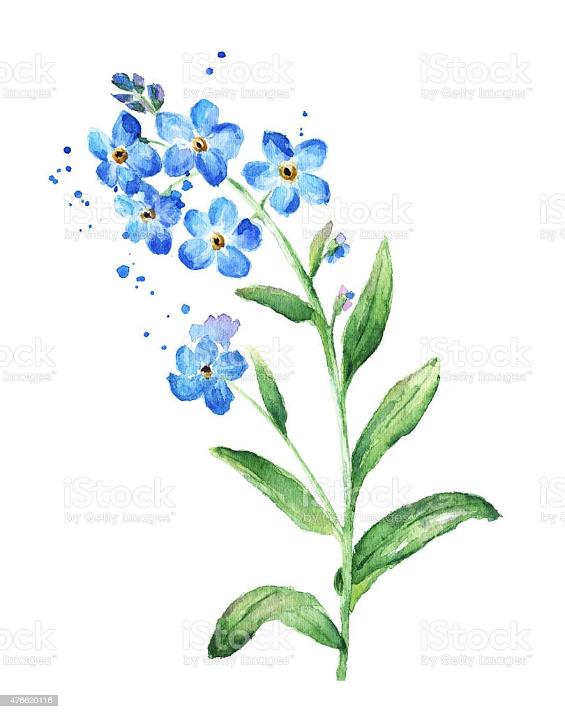 Forget Me Not Flower Watercolor Stock Vector Art & More ...