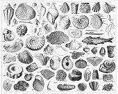 Engraved Illustrations of Fossils From Various Periods of History from Iconographic Encyclopedia of Science, Literature and Art, Published in 1851. Copyright has expired on this artwork. Digitally restored.