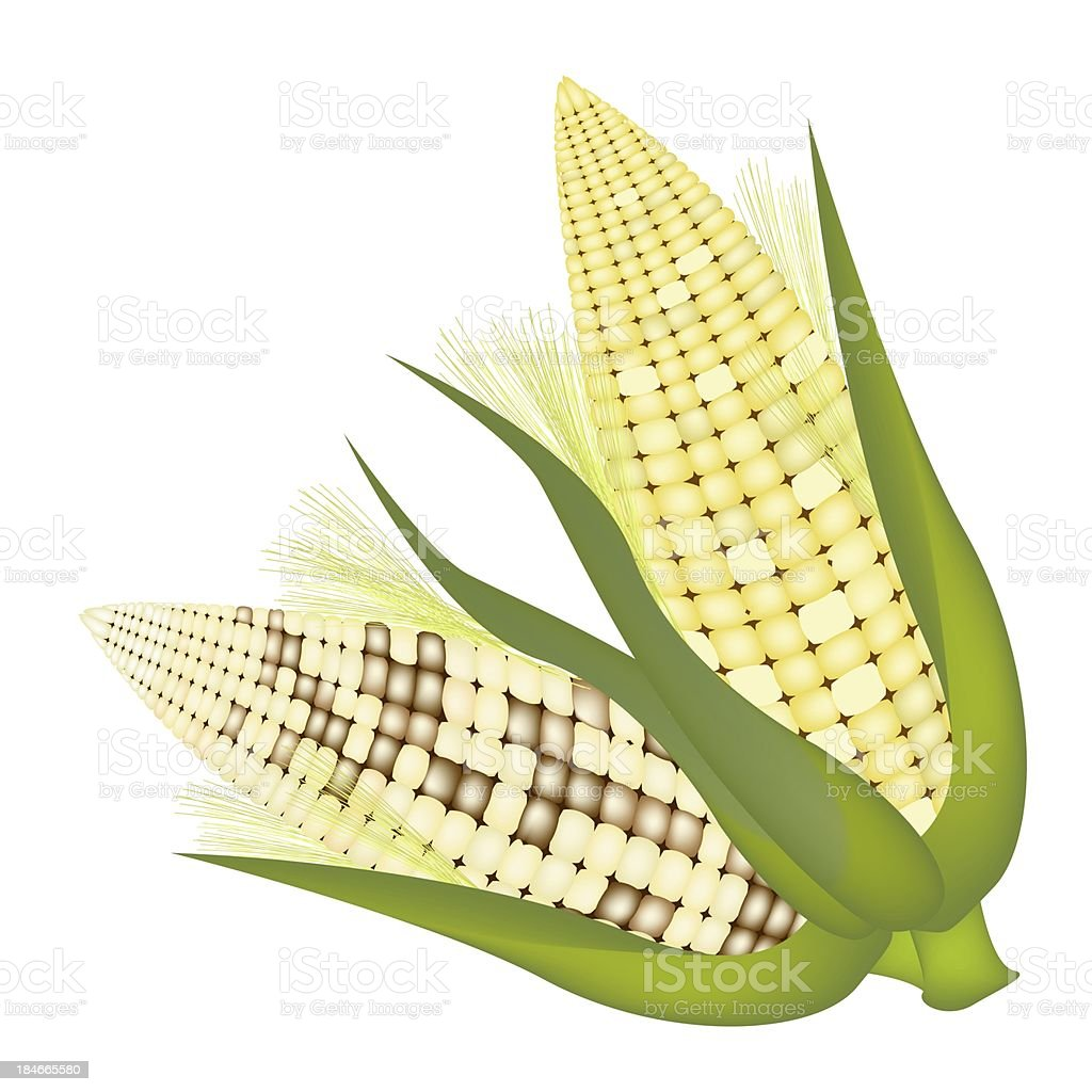 Four Ears of Corn with Husk and Silk royalty-free stock vector art
