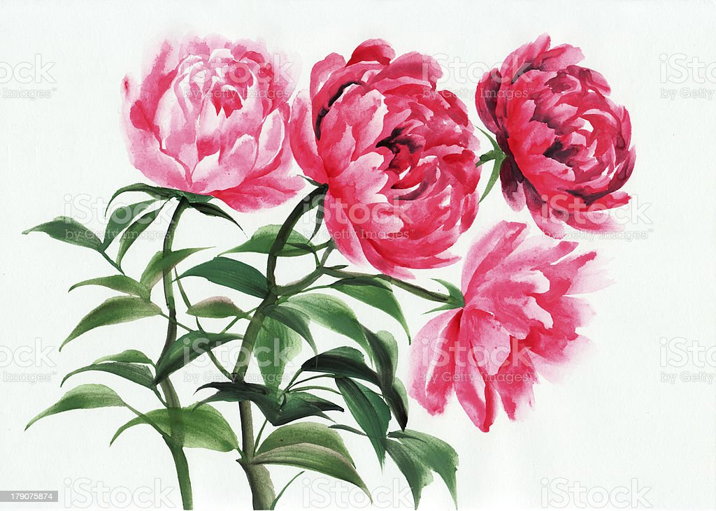 Four pink peonies royalty-free stock vector art