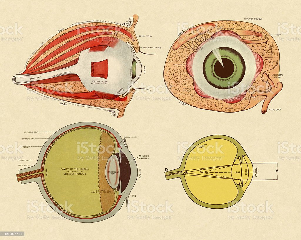Four Views Of Eye Stock Vector Art & More Images of Anatomy ...
