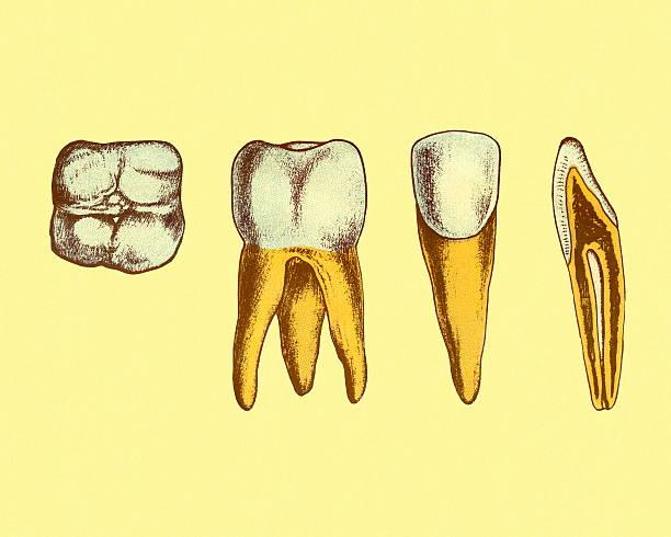 Royalty Free Dental Hygiene Human Teeth Diagram Cross Section Clip