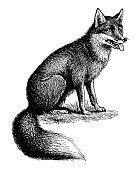 istock Fox 132071344