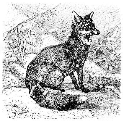 Fox (Canis Vulpes)