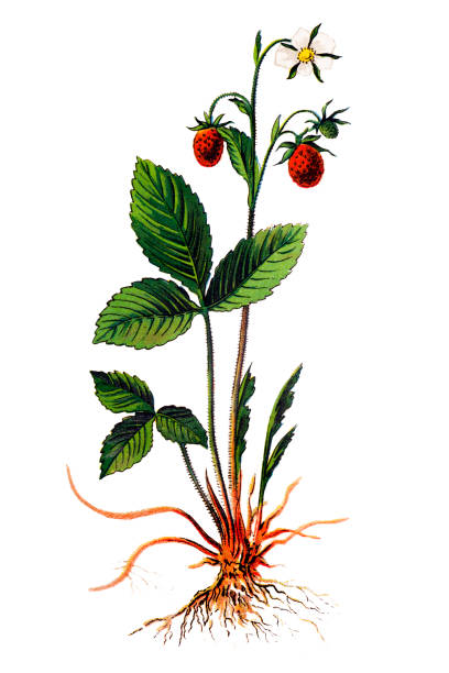 Fragaria vesca, commonly called wild strawberry, woodland strawberry, Alpine strawberry, Carpathian Strawberry, European strawberry, or fraisier des bois Illustration of a Fragaria vesca, commonly called wild strawberry, woodland strawberry, Alpine strawberry, Carpathian Strawberry, European strawberry, or fraisier des bois bois stock illustrations