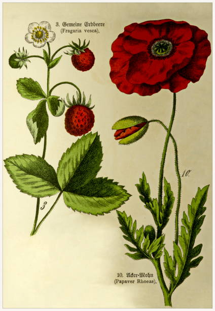 Fragaria vesca, Papaver Rhoeas - Cropped from Victorian style botanical lithographs book. Munich 1880-1889,  Germany. Cropped from Victorian style botanical lithographs book. Munich 1880-1889,  Germany. 1880 1889 stock illustrations