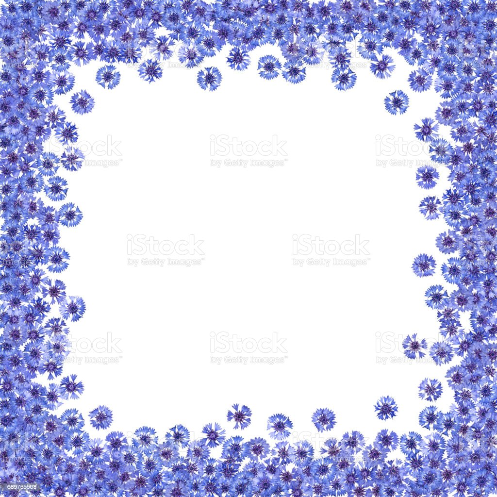 Frame of flowering cornflowers. Border of blue flowers. Knapweed isolated. vector art illustration