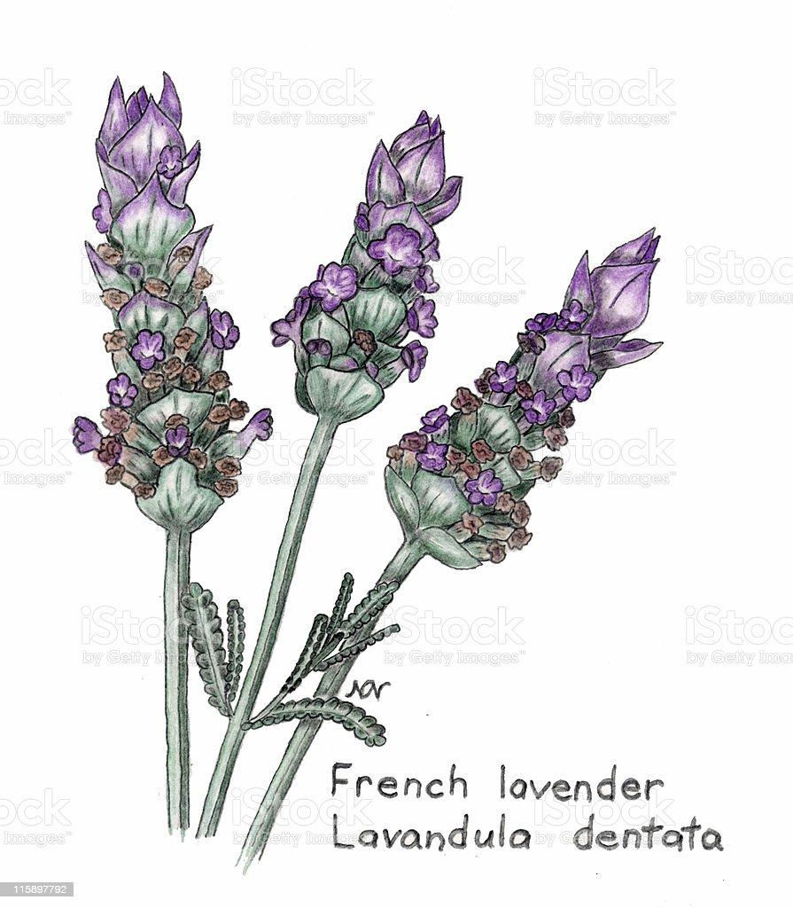 French lavender, Lavandula dentata, botanical drawing in colored pencil vector art illustration