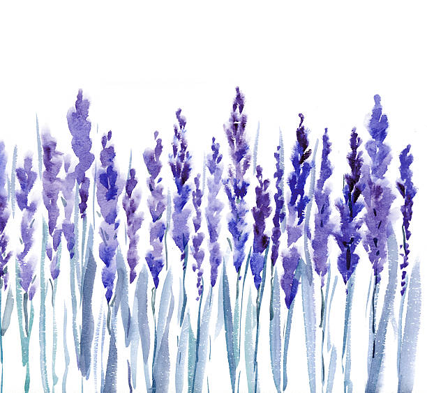 french lavender watercolor illustration french lavender watercolor illustration lavender color stock illustrations