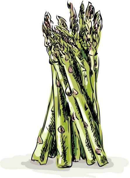 Fresh Asparagus Vector illustration of Fresh Asparagus asparagus stock illustrations