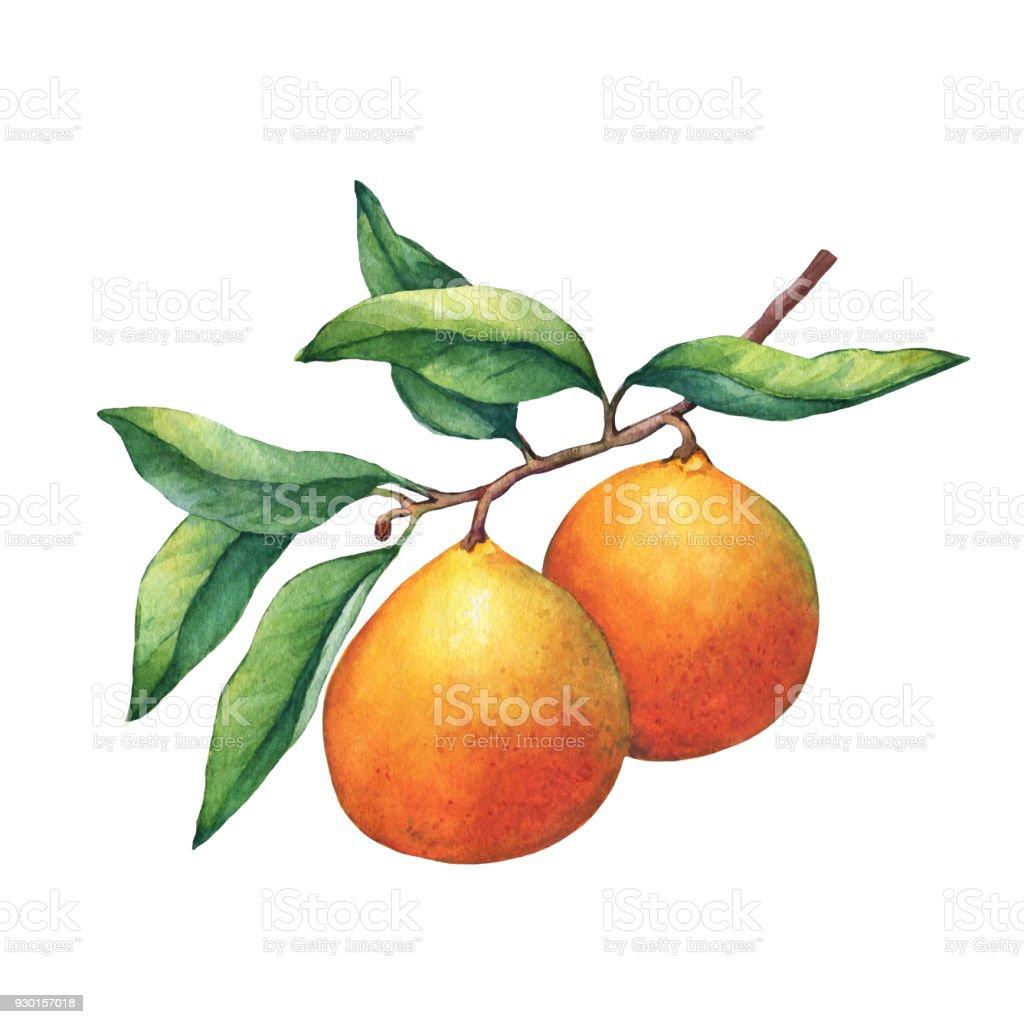 Ilustración de Naranjas Frescas De Cítricos Sobre Una Rama Con ...