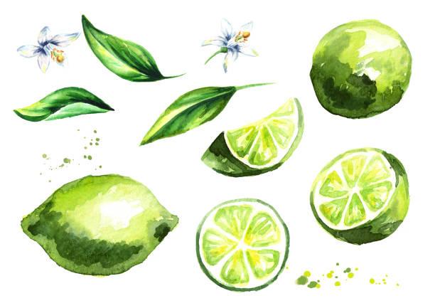 新鮮なライム果物と葉の花のコレクション。水彩の手描きイラスト - ライム点のイラスト素材/クリップアート素材/マンガ素材/アイコン素材