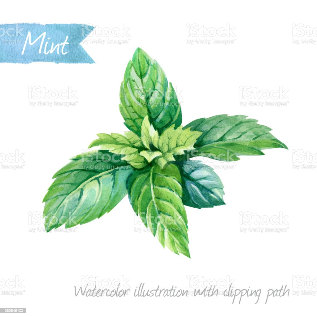 Fresh mint leaves isolated on white watercolor illustration vector art illustration