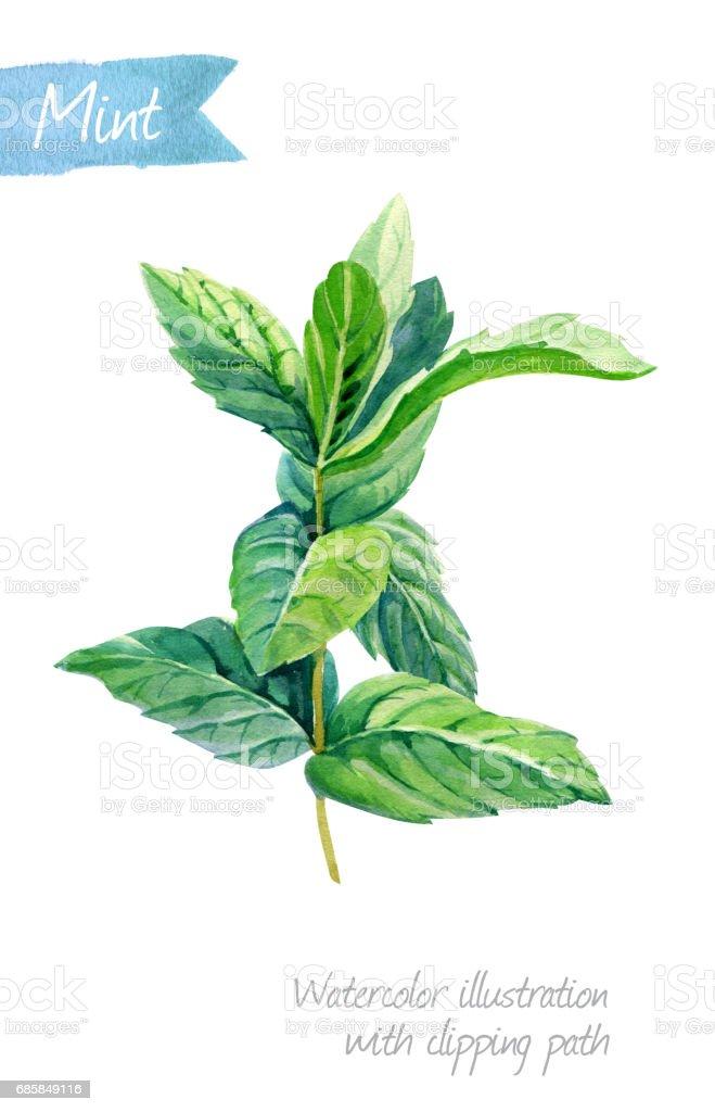 Fresh mint plant isolated on white watercolor illustration vector art illustration