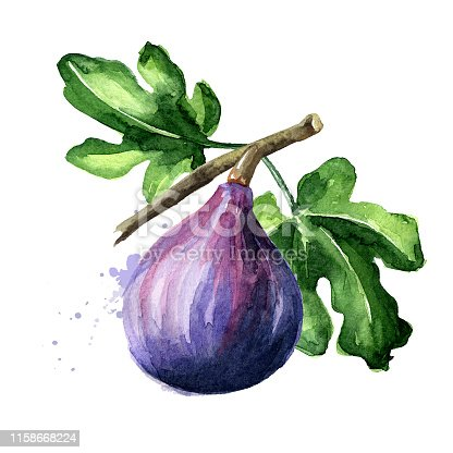 Fresh ripe purple fig fruit and leaves on a branch. Watercolor hand drawn illustration isolated on white background
