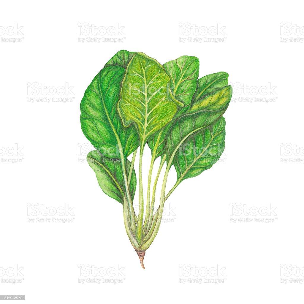 Fresh spinach vector art illustration