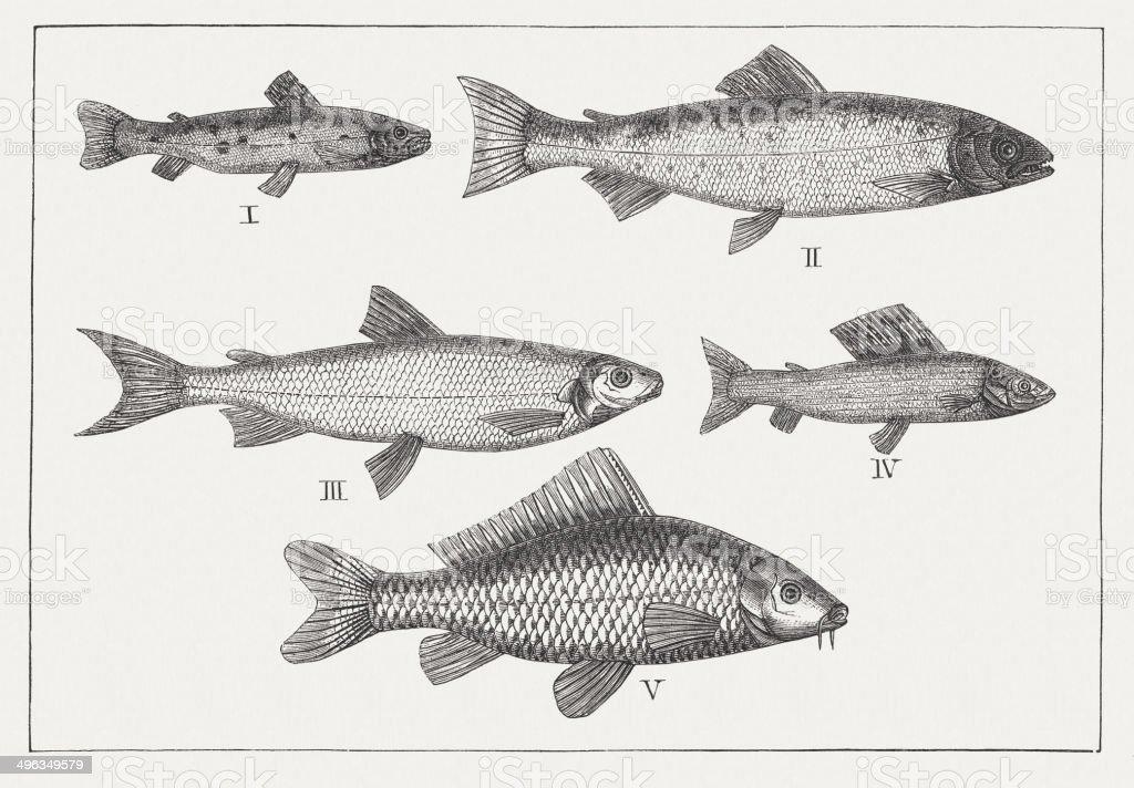 Freshwater fish: Brown trout, Atlantic salmon, Coregonus, Grayling, Carp vector art illustration