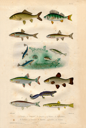 Freshwater fish collection Antique french botanical illustration with paper texture