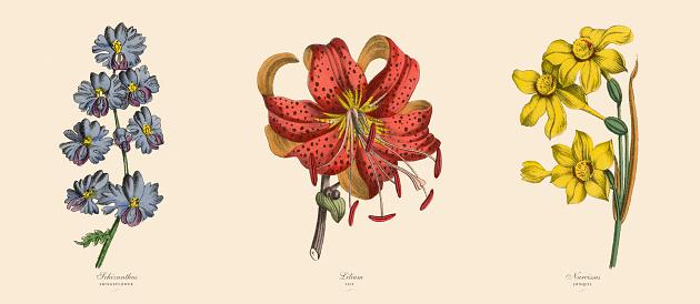 Fringeflower, Lily and Narcissus Plants, Victorian Botanical Illustration