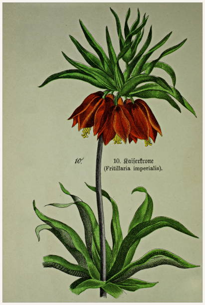 Fritillaria imperialis - Cropped from Victorian style botanical lithographs book. Munich 1880-1889,  Germany. Cropped from Victorian style botanical lithographs book. Munich 1880-1889,  Germany. 1880 1889 stock illustrations