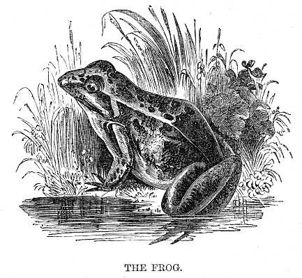 Frog engraving 1869