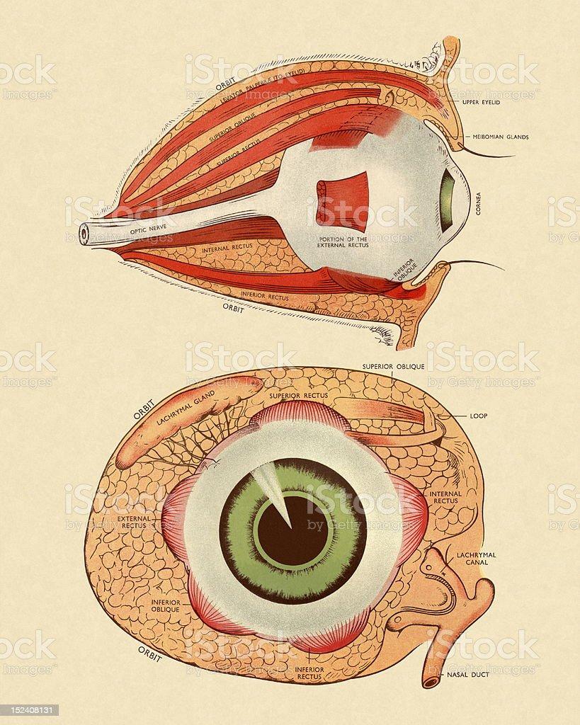 Vista Lateral Y Frontal Diagrama De Ojo - Arte vectorial de stock y ...