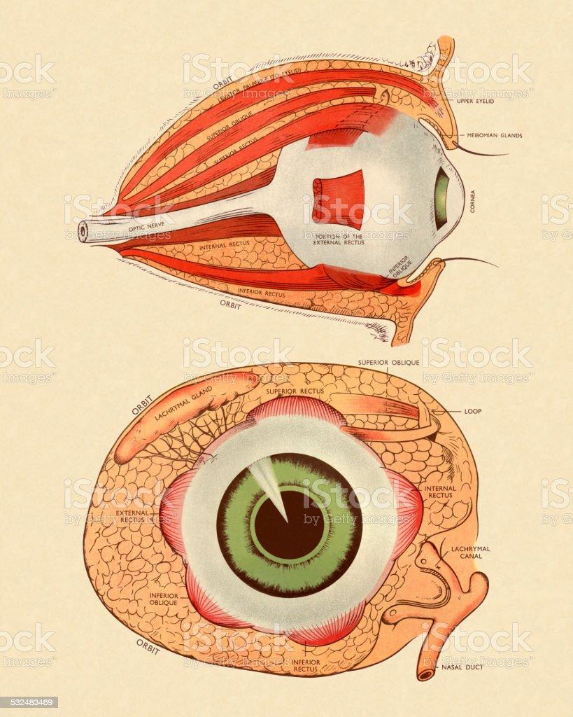 Ilustración de Vista Lateral Y Frontal Diagrama De Ojo y más banco ...