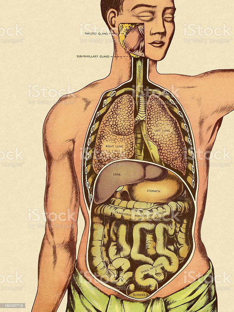 Front View of Man's Organs royalty-free stock vector art
