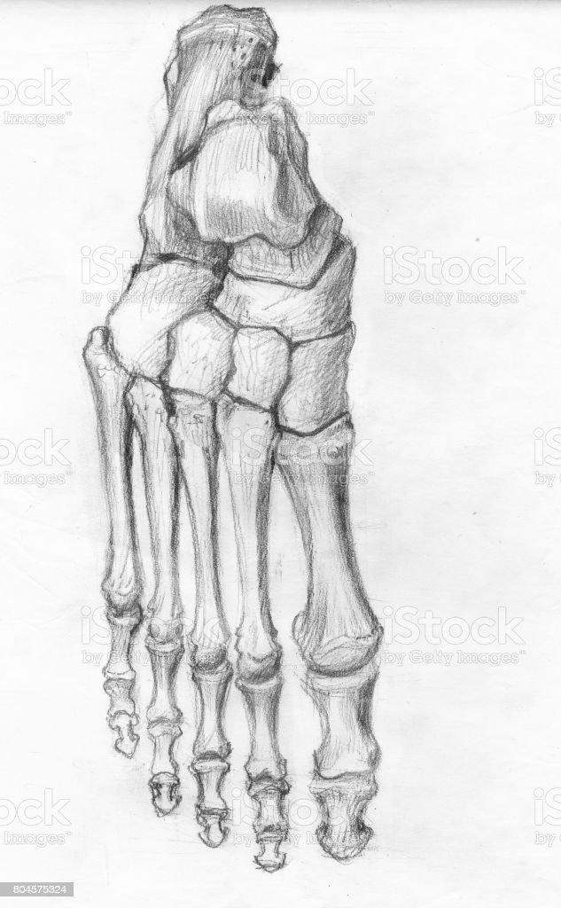 Ilustración de Huesos Del Pie Frontal y más banco de imágenes de ...