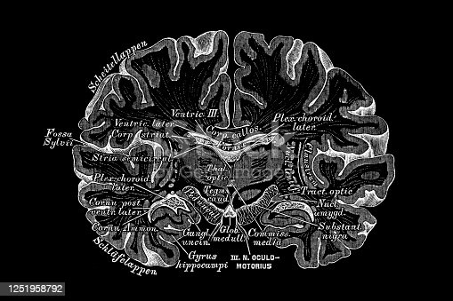 Illustration of a Frontal section through the cerebrum