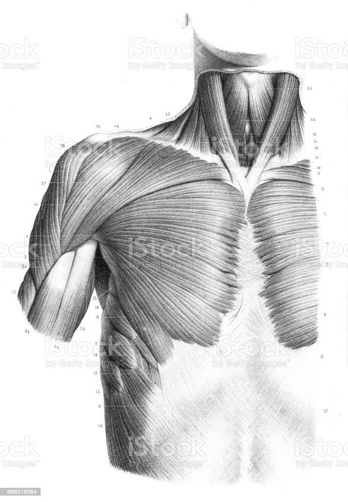 Ilustración de Anatomía Del Tronco Frontal Grabado 1866 y más banco ...
