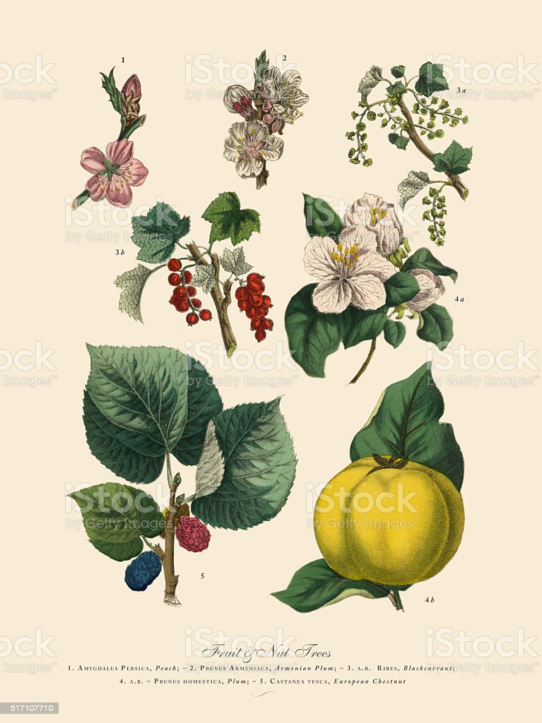 Fruit and Nut Trees of the Garden, Victorian Botanical Illustration vector art illustration