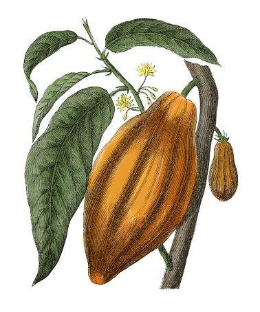 Fruit of cacao tree (antique botanical engraving)