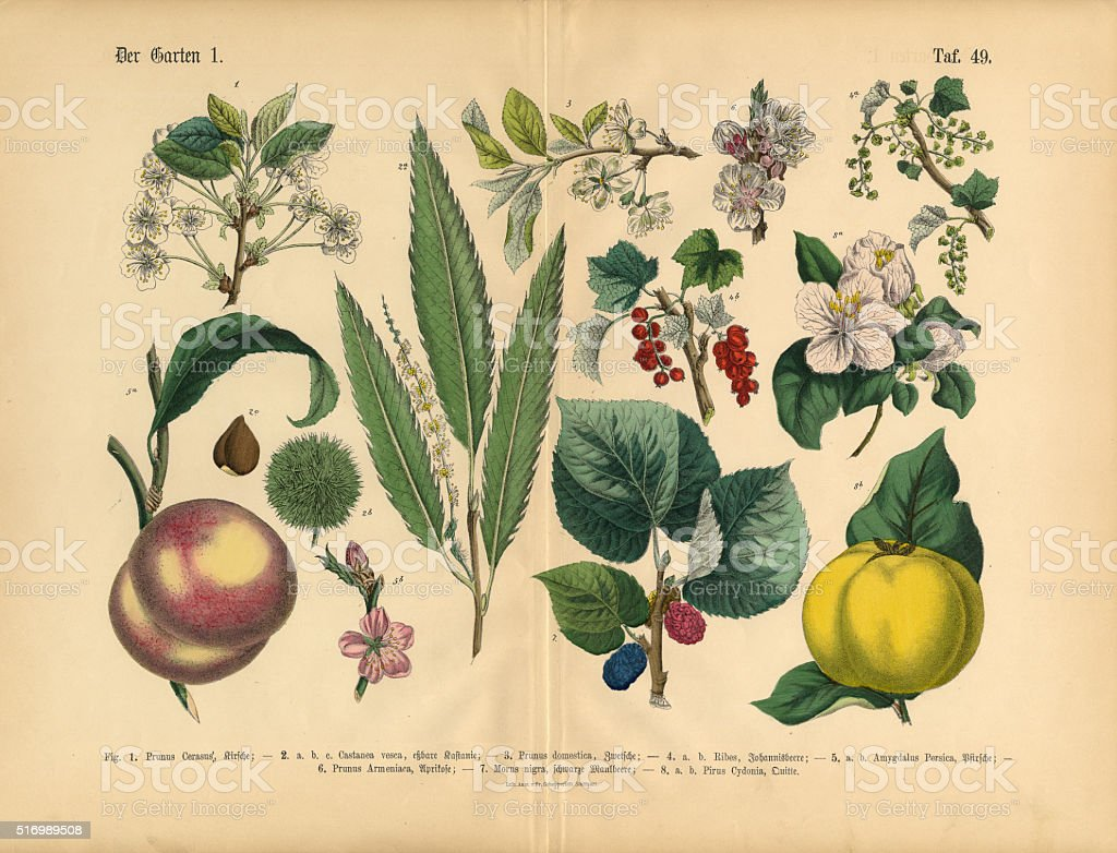 Fruit, Vegetables and Berries of the Garden, Victorian Botanical Illustration vector art illustration