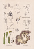 istock Fungi, chromolithograph, published in 1895 1268217350