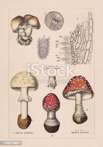 Fungi: 1) Meadow mushroom (Agaricus campestris); 2) Death cap (Amanita phalloides, or Agaricus phalloides); 3) fFy agaric (Amanita muscaria, or Agaricus muscarius). Chromolithograph, published in 1895.