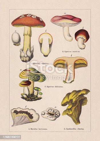 Fungi: 1) Caesar's mushroom (Amanita caesarea, or Agaricus caesareus); 2) Sickener (Russula emetica, or Agaricus emeticus); 3) Saffron milk cap (Lactarius deliciosus, or Agaricus deliciosus); 4) Dry rot (Serpula lacrymans, or Merulius lacrymans); 5) Girolle (Cantharellus cibarius). Chromolithograph, published in 1895.