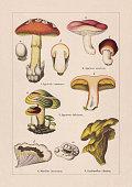 istock Fungi, chromolithograph, published in 1895 1268239222