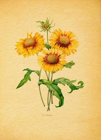 Gaillardia | Antique Flower Illustrations