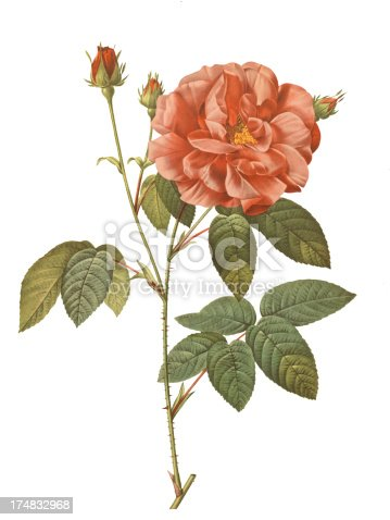 Old illustration of Rosa gallica officinalis. Engraving by Pierre-Joseph Redoute. Was published in the third octavo edition of Les Roses in Paris year 1827.