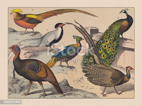 istock Gamebirds (Galliformes), hand-colored chromolithograph, published in 1882 1333231923