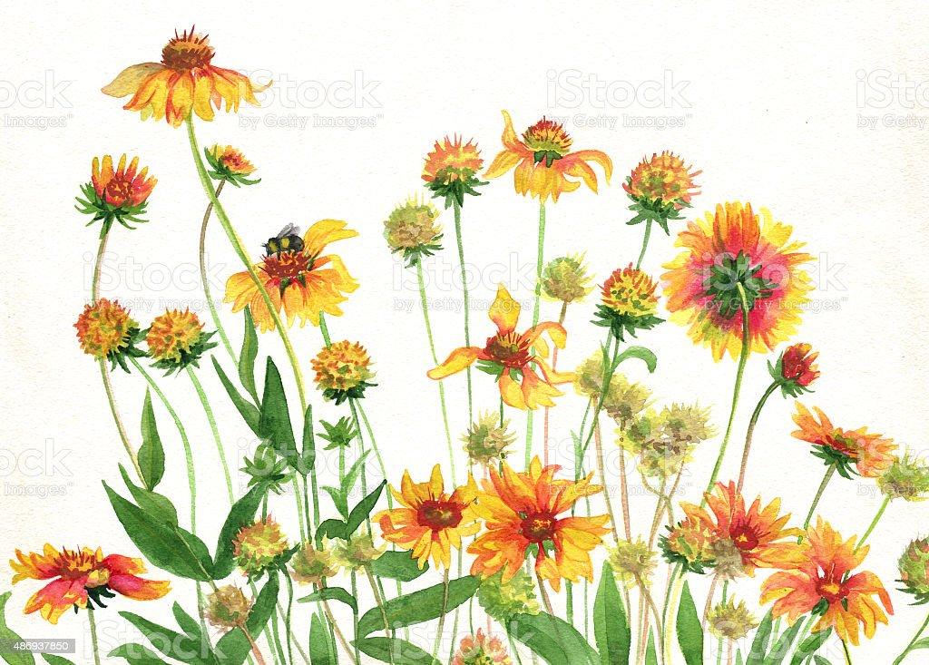 garden flowers rudbeckia watercolor painting royalty free stock vector art