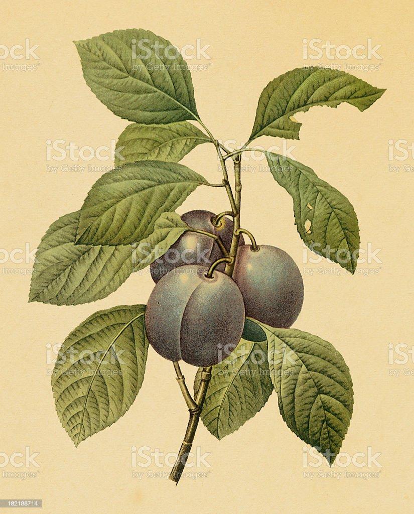 Garden plum | Antique Flower Illustrations royalty-free stock vector art
